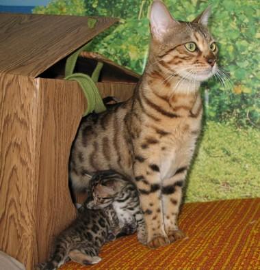 аллергия на бенгальских кошек